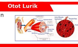 Otot-Lurik-Ciri-Fungsi-Sifat-Bagian-Mekanisme-Faktor